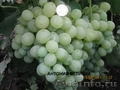 Виноград саженцы,  черенки,  малина Таруса,  Патриция.