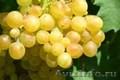 Виноград - саженцы и ягоды