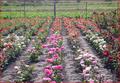 Саженцы роз от производителя с ЗКС - почтой по РФ - Изображение #2, Объявление #848871