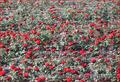 Саженцы роз от производителя с ЗКС - почтой по РФ - Изображение #3, Объявление #848871