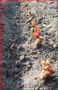 Саженцы роз от производителя с ЗКС - почтой по РФ - Изображение #4, Объявление #848871