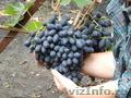 винограда саженцы