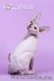 Роскошные из питомника котята породы канадский сфинкс.
