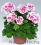Продаю рассаду однолетних цветов