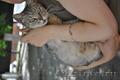 котята от кошки скоттиш-страйт отдам в хорошие руки
