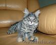 Продам котенка Курильский бобтейл